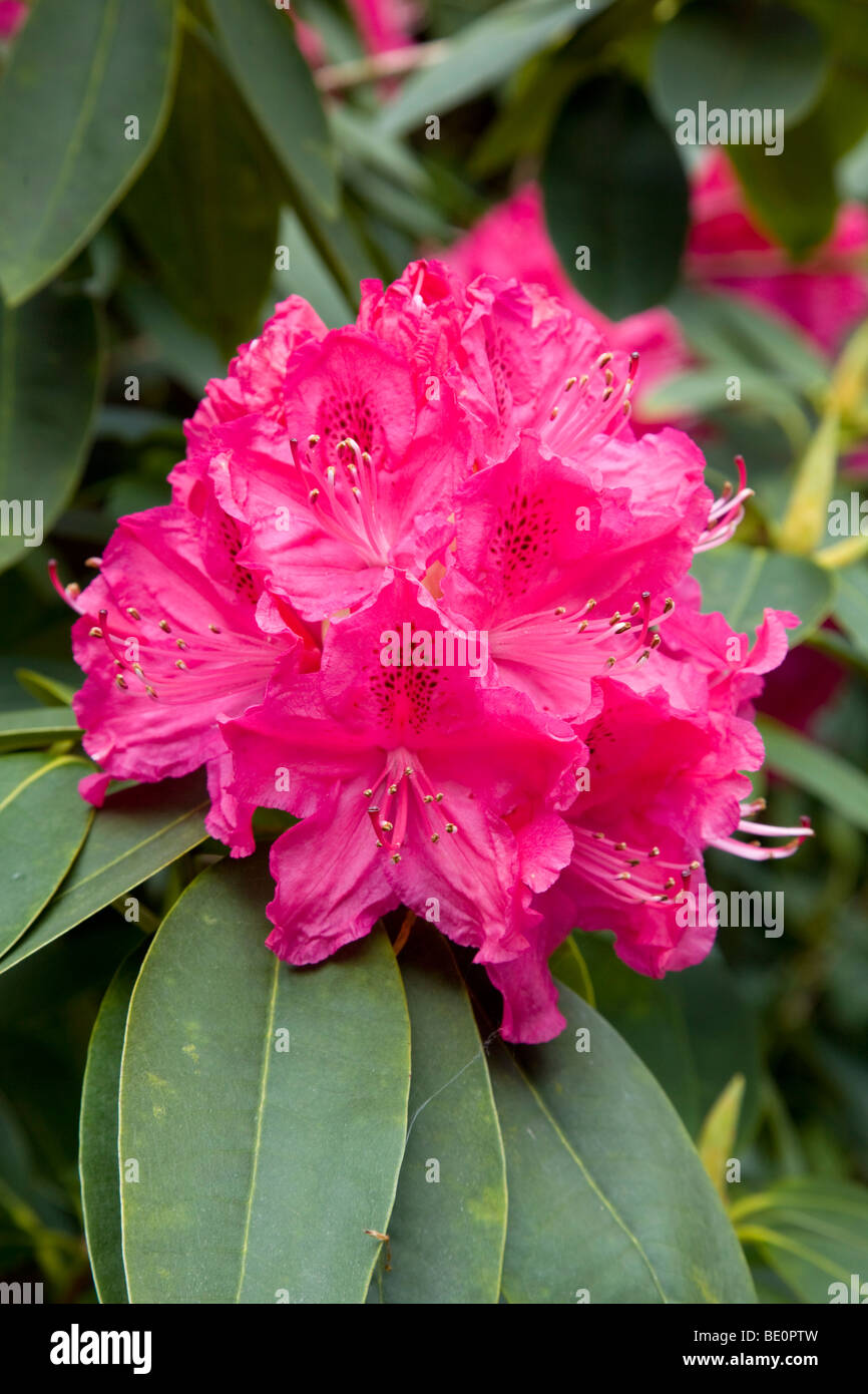 rhododendron; pink flower; cornwall - Stock Image