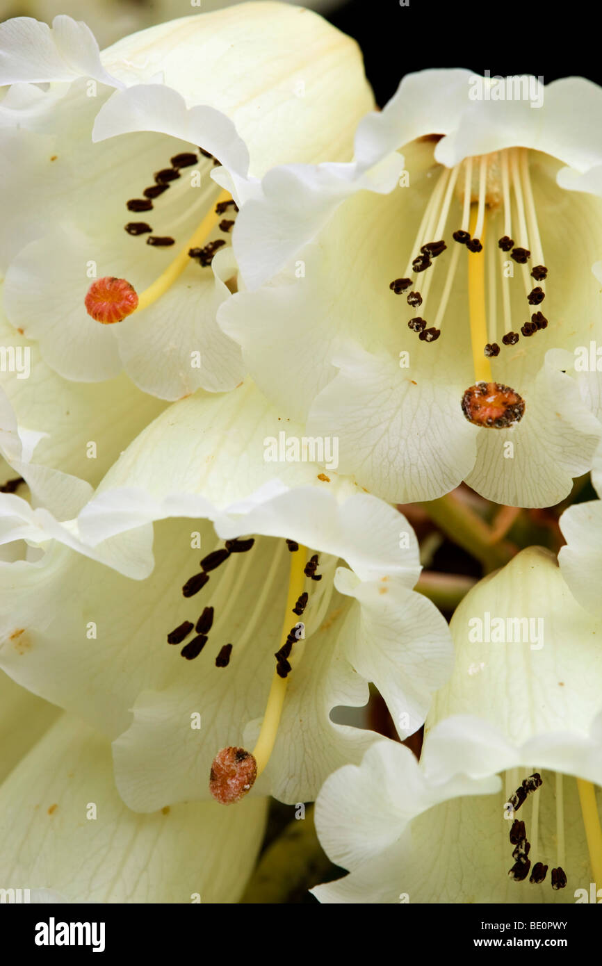 rhododendron macabeanum in flower - Stock Image