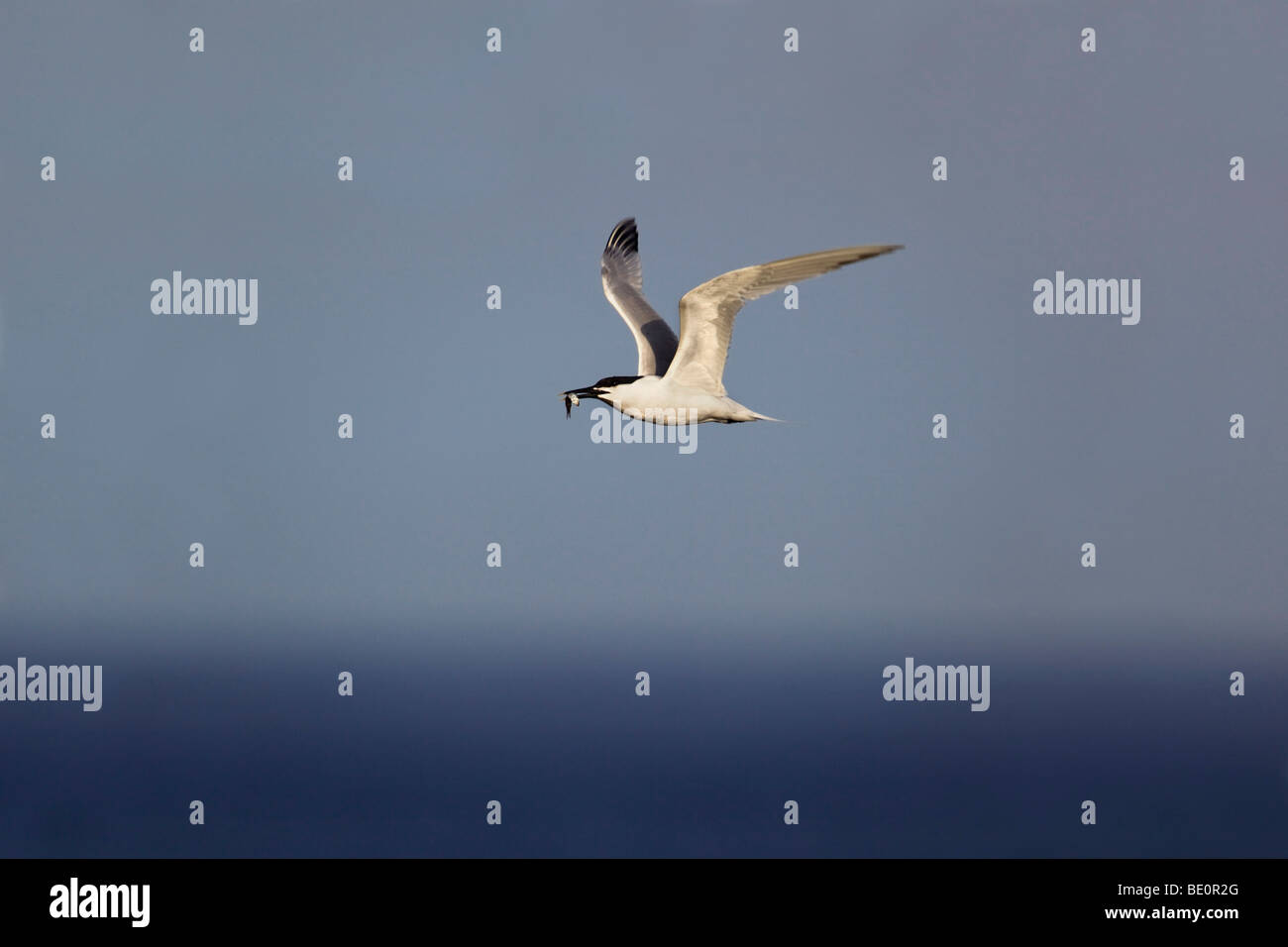 sandwich tern; Sterna sandvichensis; flying with fish - Stock Image