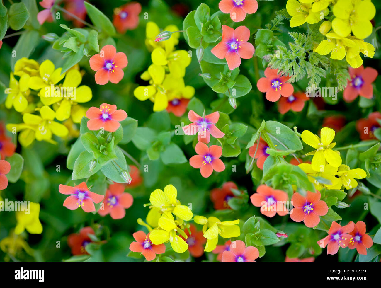 Pink Scarlet pimpernel (Anagalis averensis) and yellow Western Wallflower (Erysimum capitatum). Big Sur coast, California - Stock Image