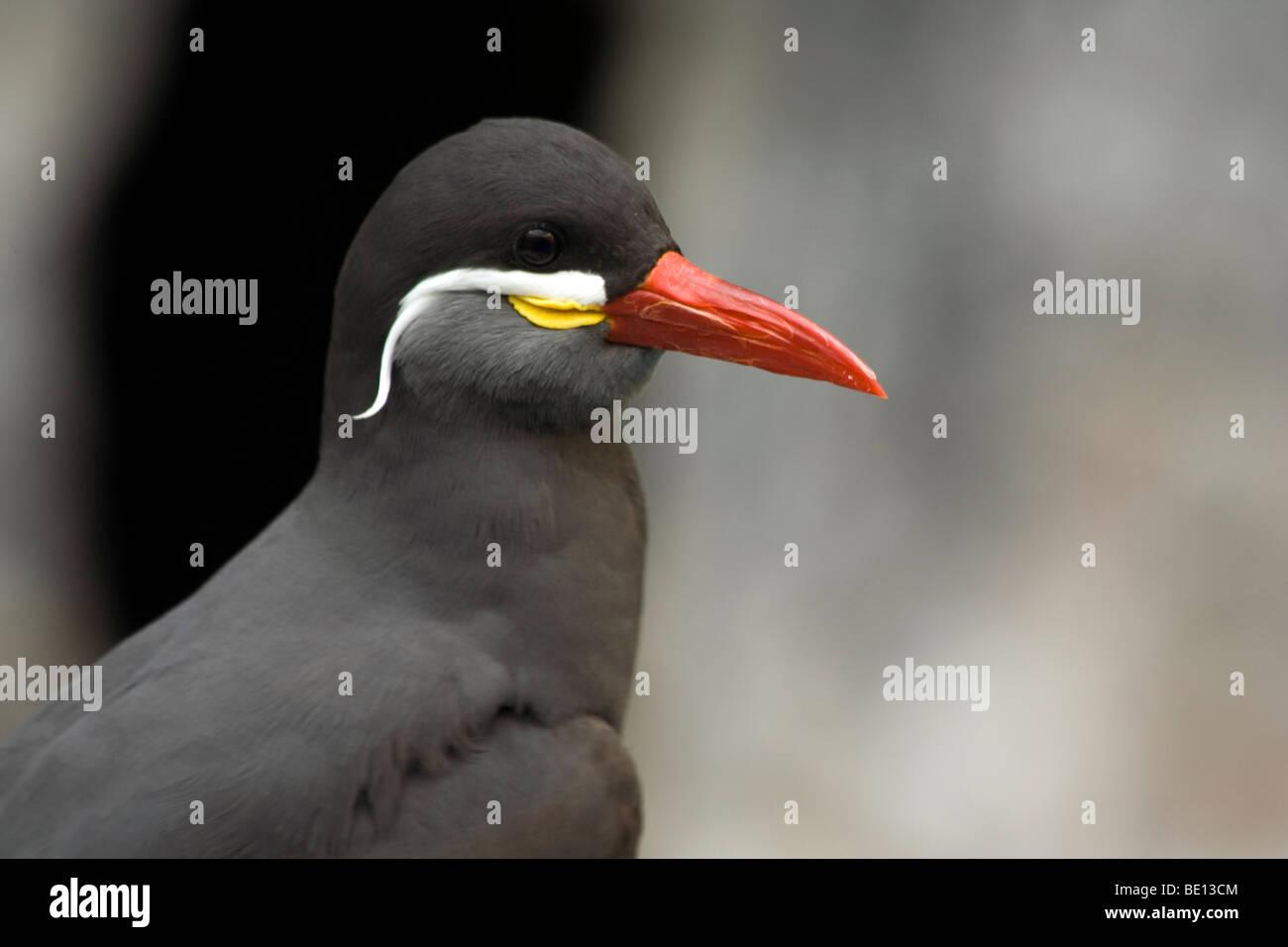 The Inca Tern (Larosterna inca).Brookfield Zoo Stock Photo