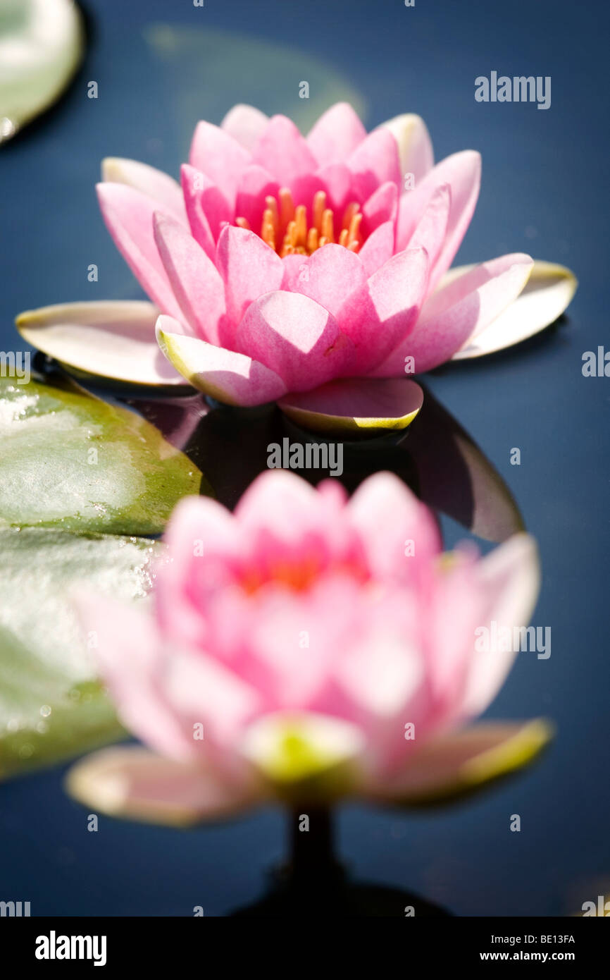 Two lotus flowers in water with shallow depth of field - Stock Image