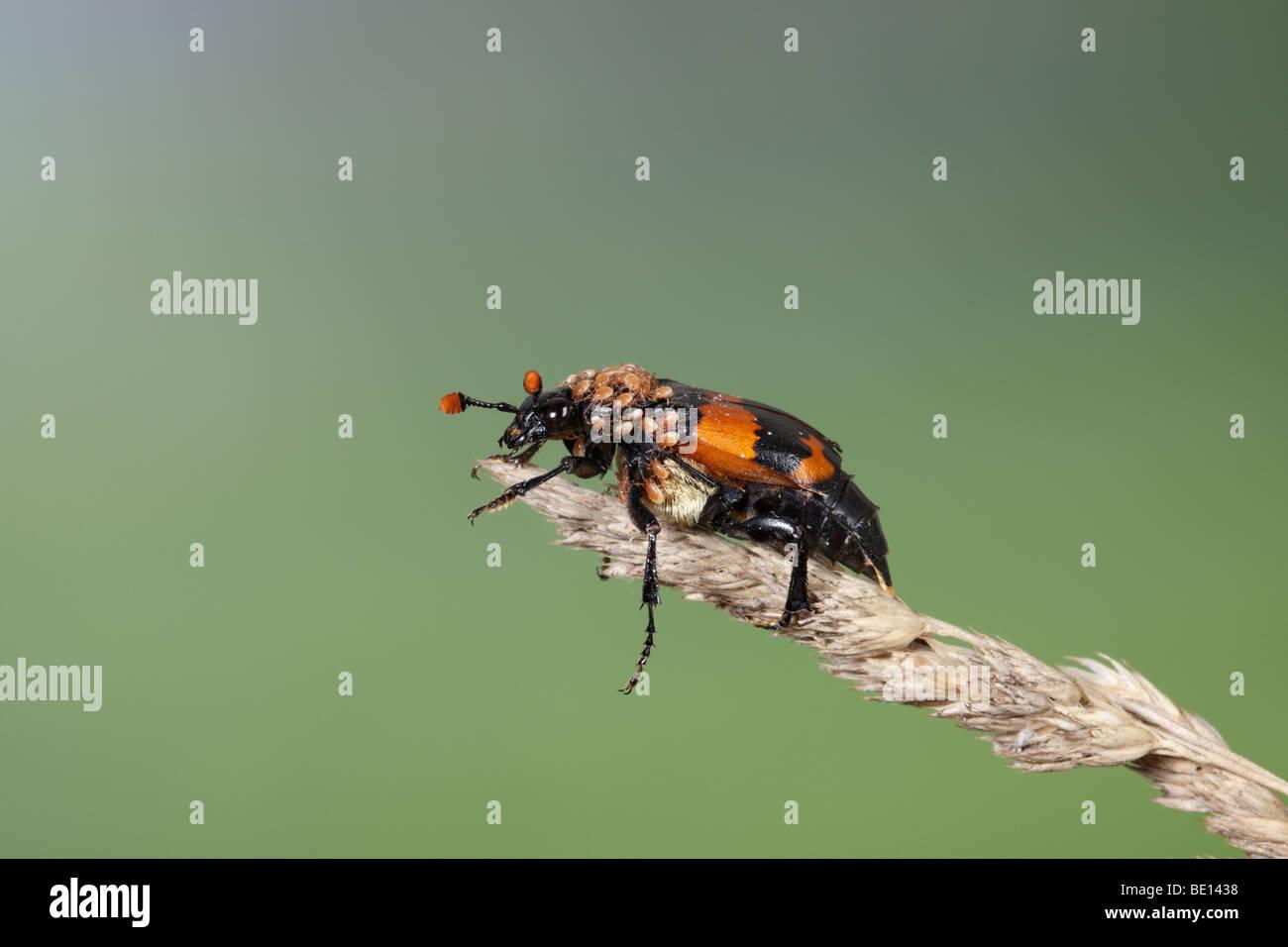 Burying beetle sexton beetle (genus Nicrophorus) - Stock Image