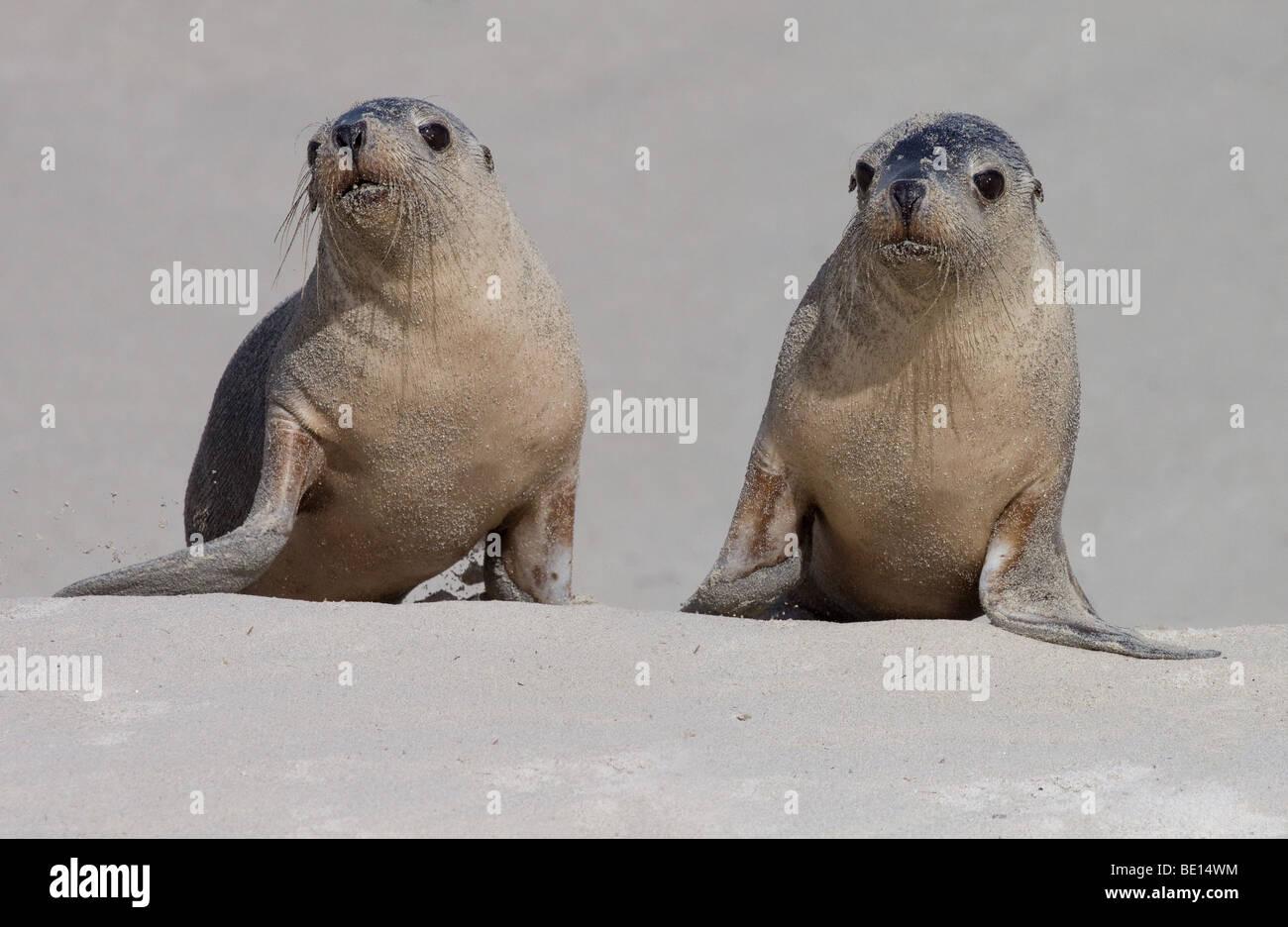 Seals on the beach at Seal Bay, Kangaroo Island Stock Photo