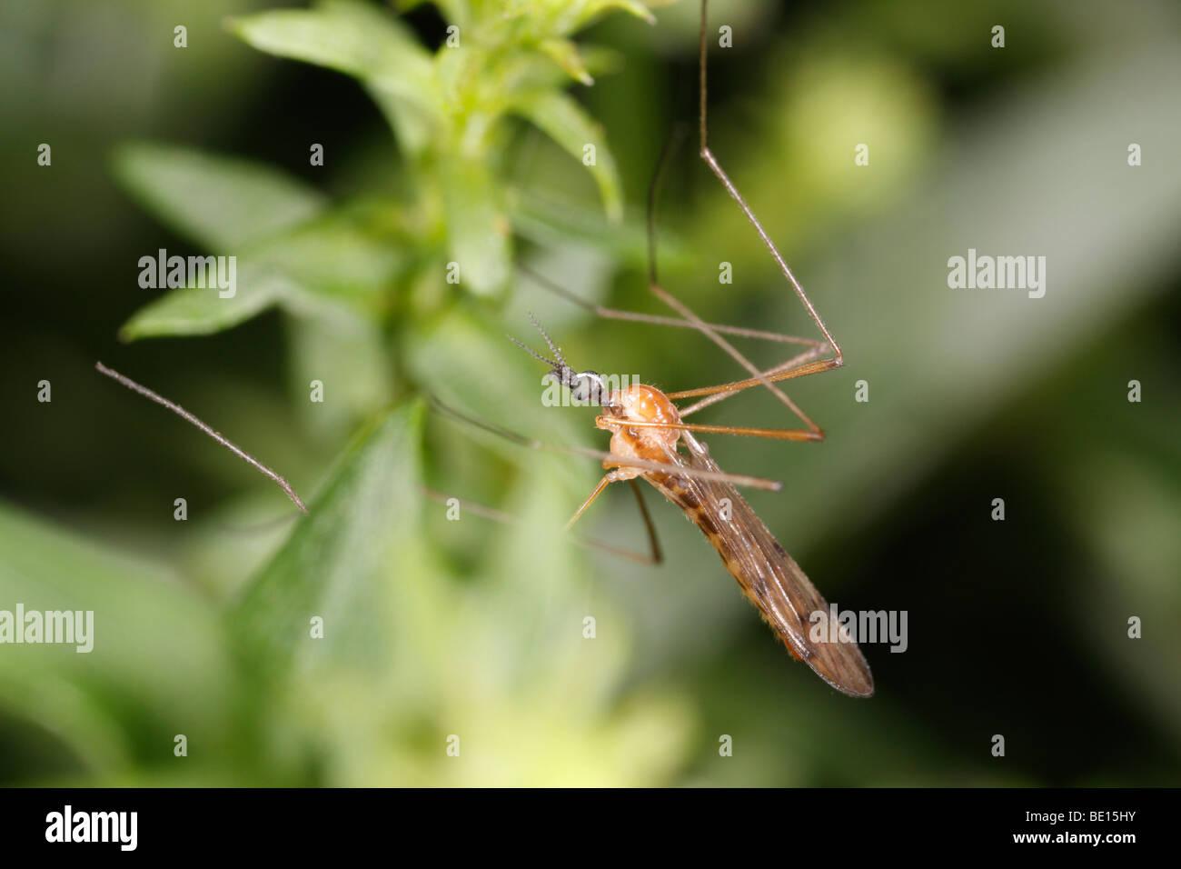 A midge, unfortunately, I cannot determine the species (Diptera) Stock Photo