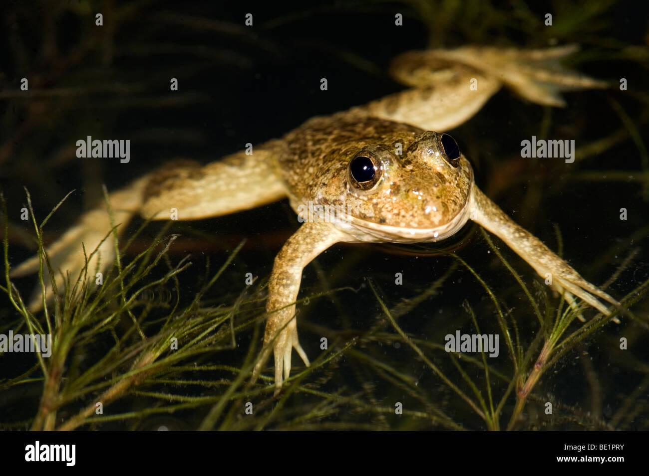 Frog laying in pond Tomopterna braviceps Bandhavgarh National Park - Stock Image