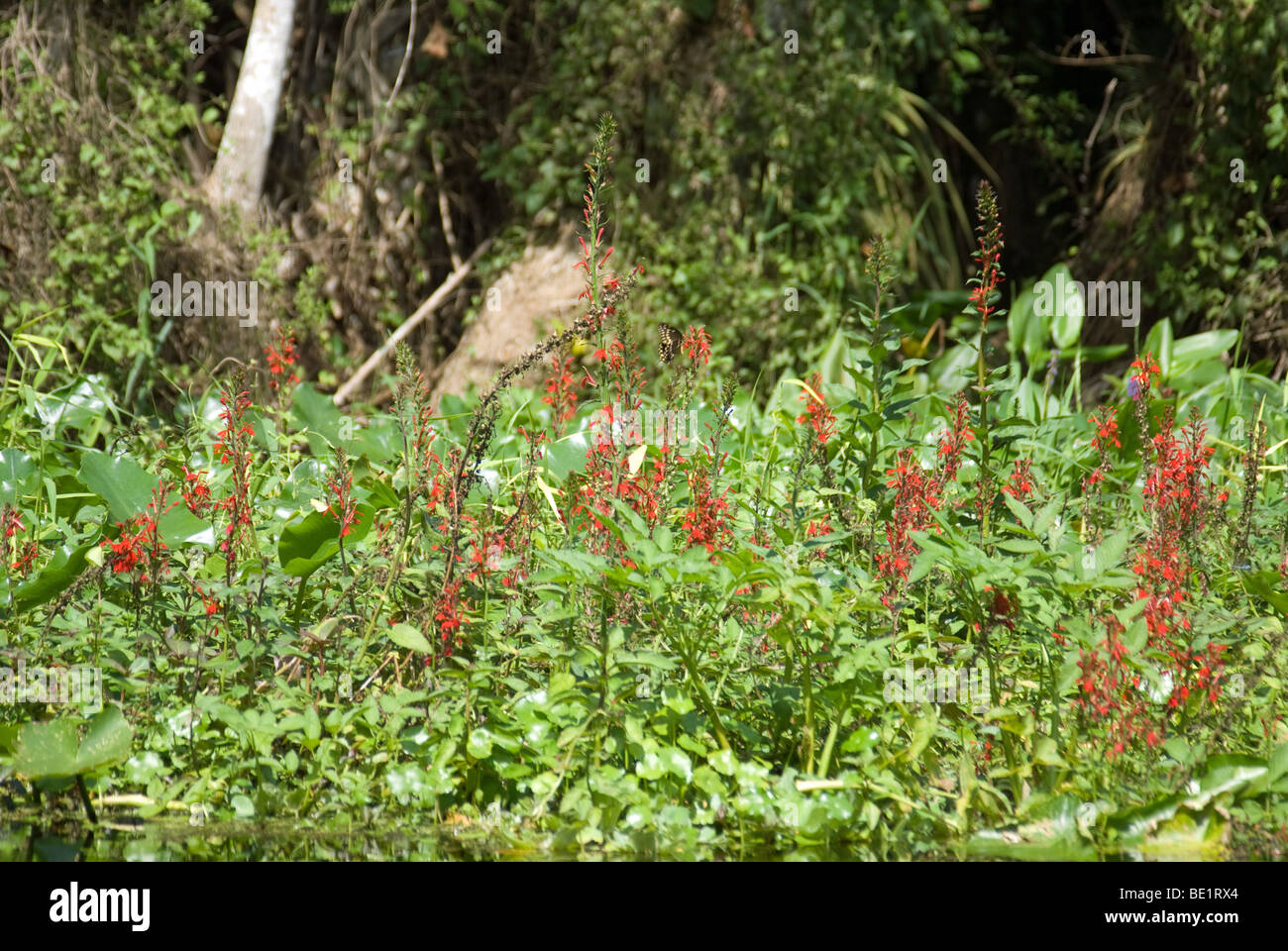 Red flowers in the river - Stock Image