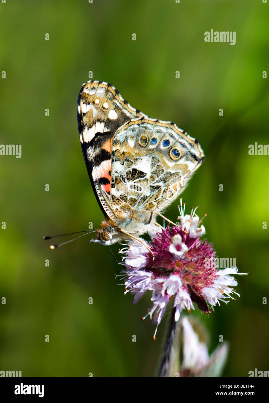Painted lady butterfly feeding on wild mint plant - Stock Image