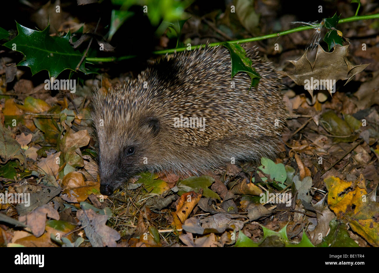 Hedgehog in it's natural surroundings in woodland. - Stock Image