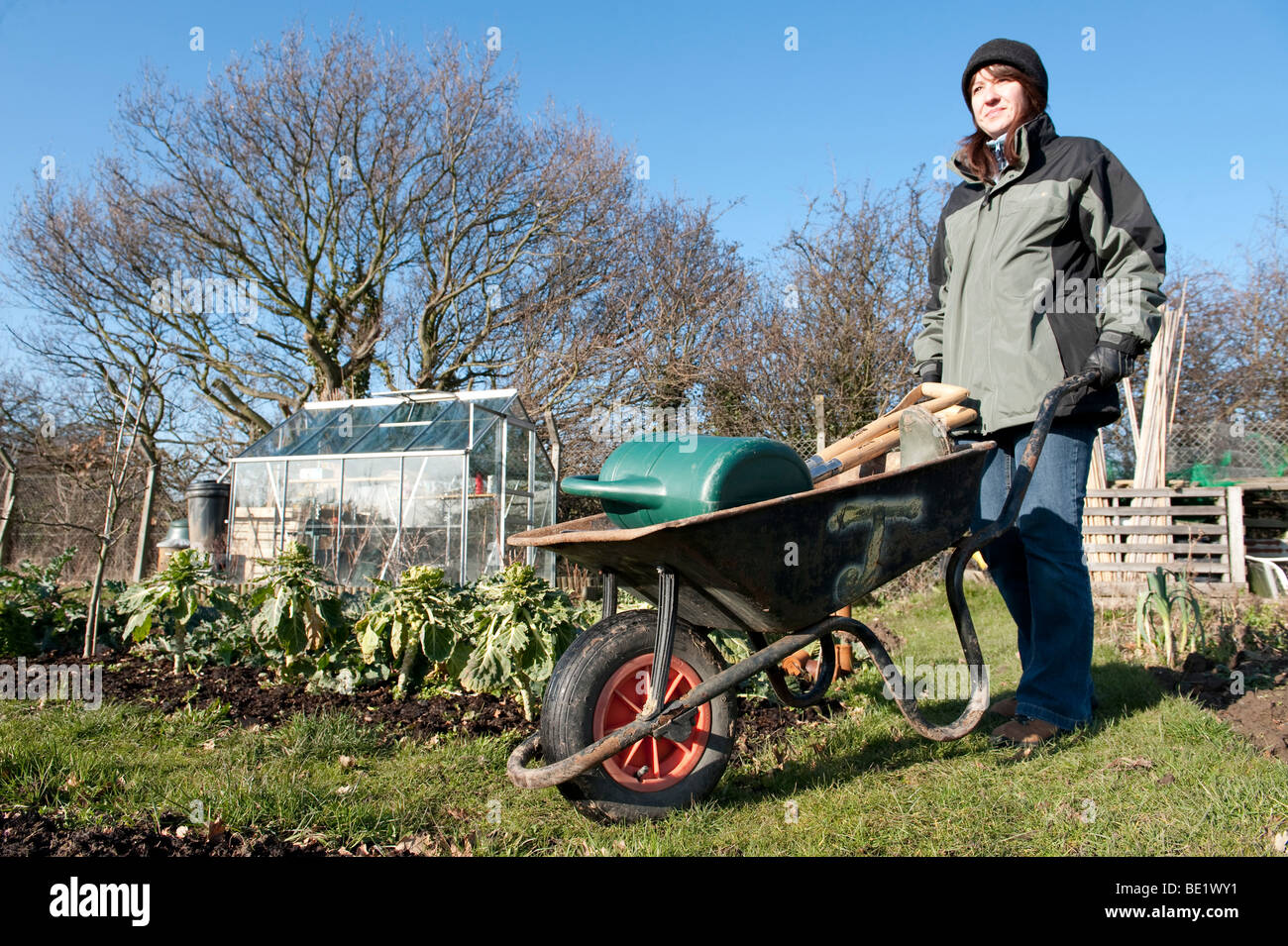 Young woman with wheelbarrow at allotment. winter Kent UK green gardening organic self sufficient vegetables greenhouse - Stock Image