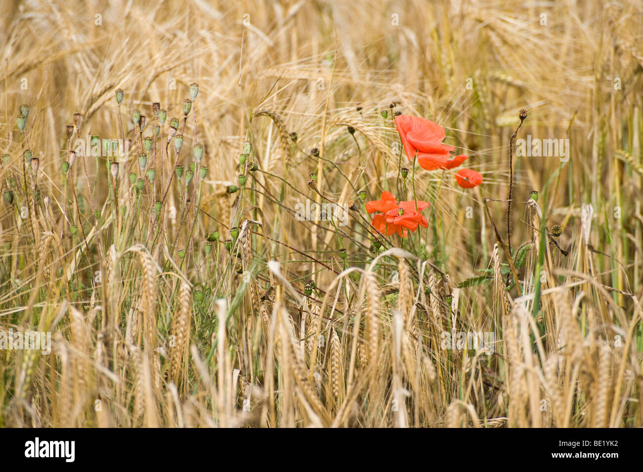 Wild red poppies in a field of wheat in the English countryside. - Stock Image