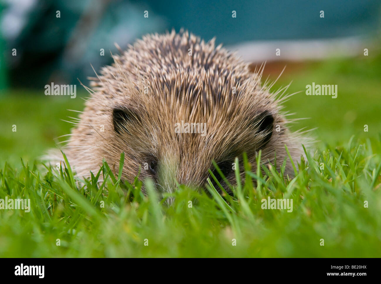 Young hedgehog hiding in the grass - Stock Image