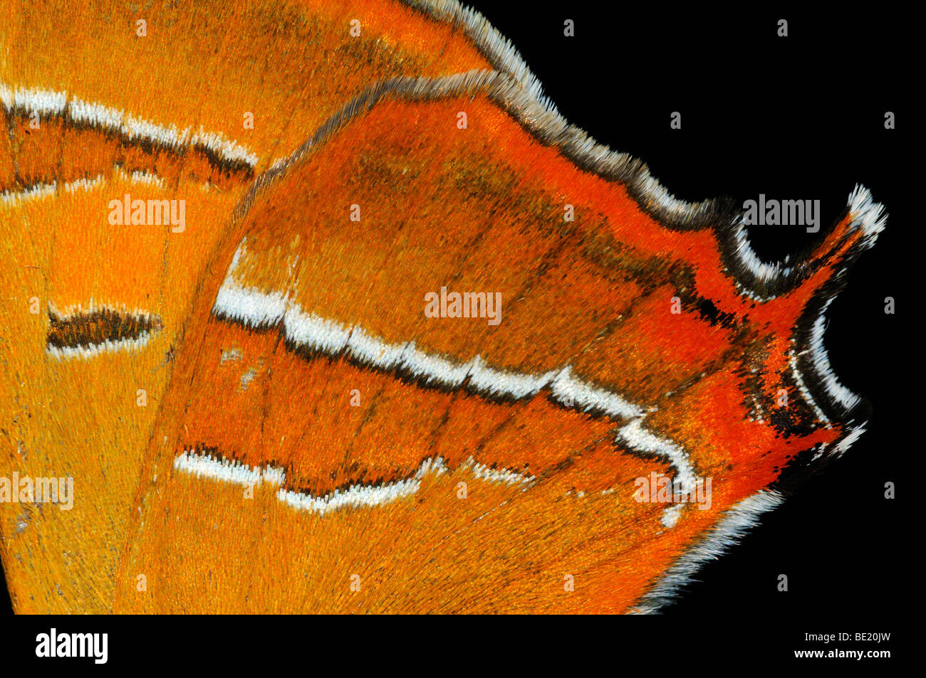 Brown Hairstreak Butterfly (Thecla betulae) close-up of rear wing showing tail, Oxfordshire, UK. - Stock Image