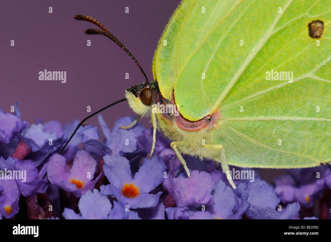 Brimstone Butterfly (Gonepteryx rhamni) close-up, feeding on buddleia flowers, tongue extended, Oxfordshire, UK. - Stock Image