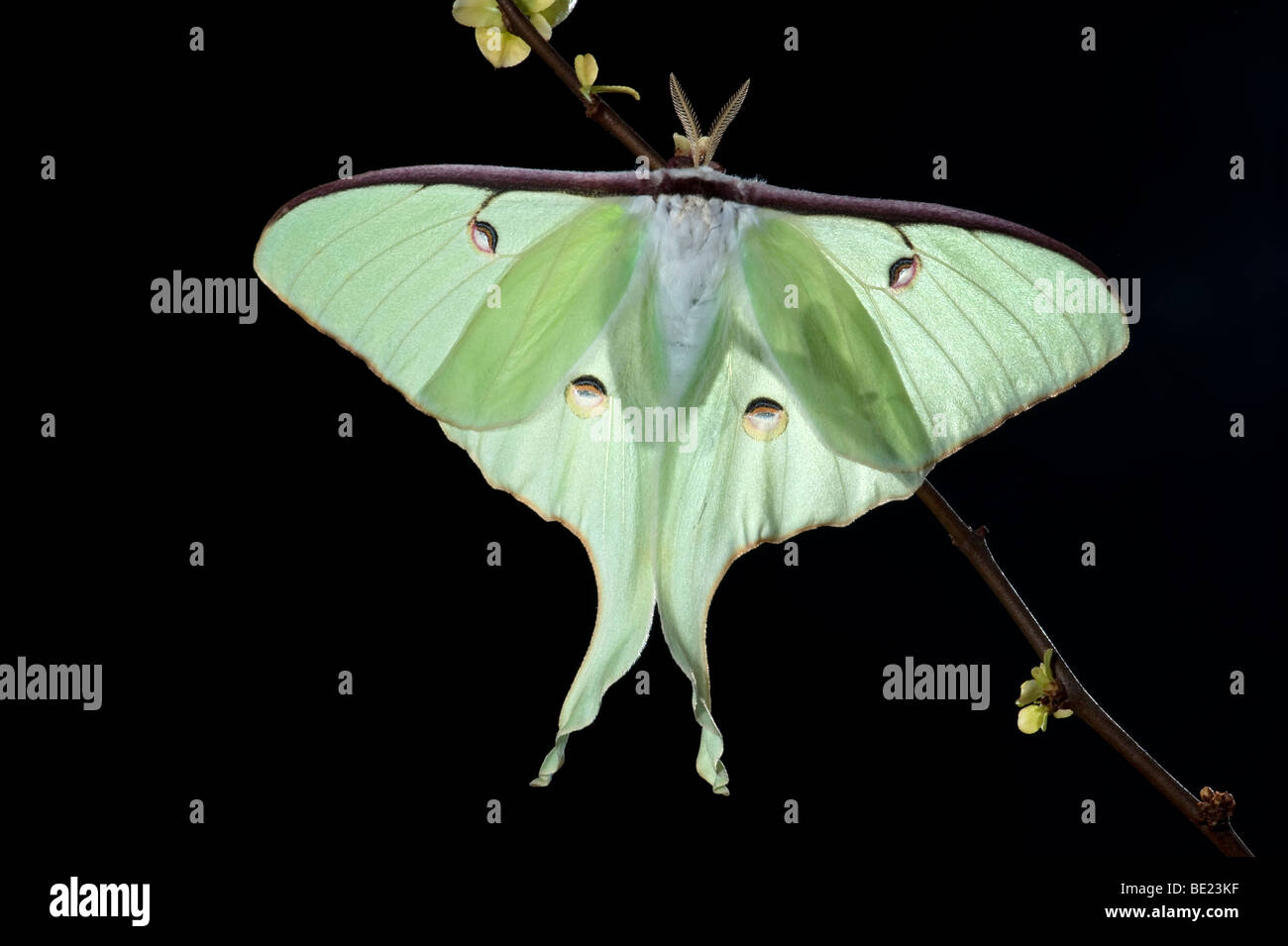 American Moon Moth  Actias luna USA backlight on shrub branch - Stock Image