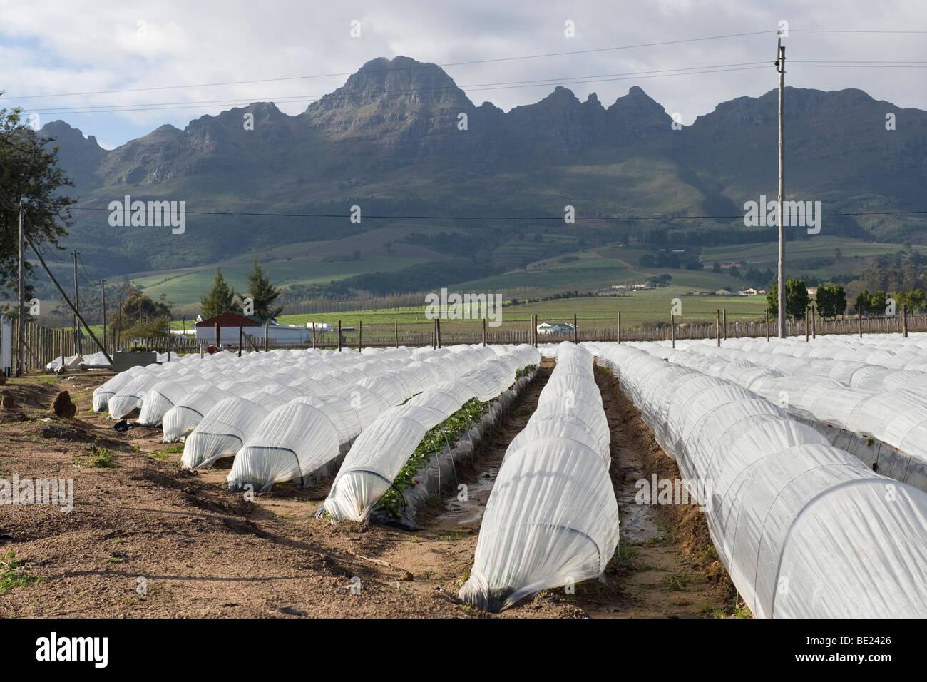 Strawberries Fragaria x ananassa growing under foil tunnels in Stellenbosch South Africa - Stock Image