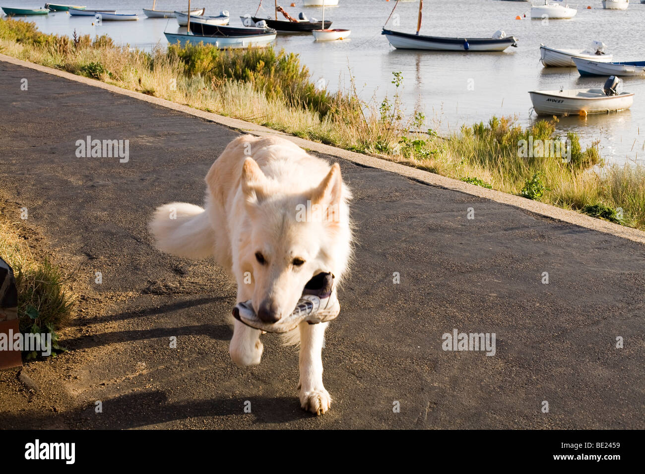 dog carrying shoe on a path by the sea - Stock Image