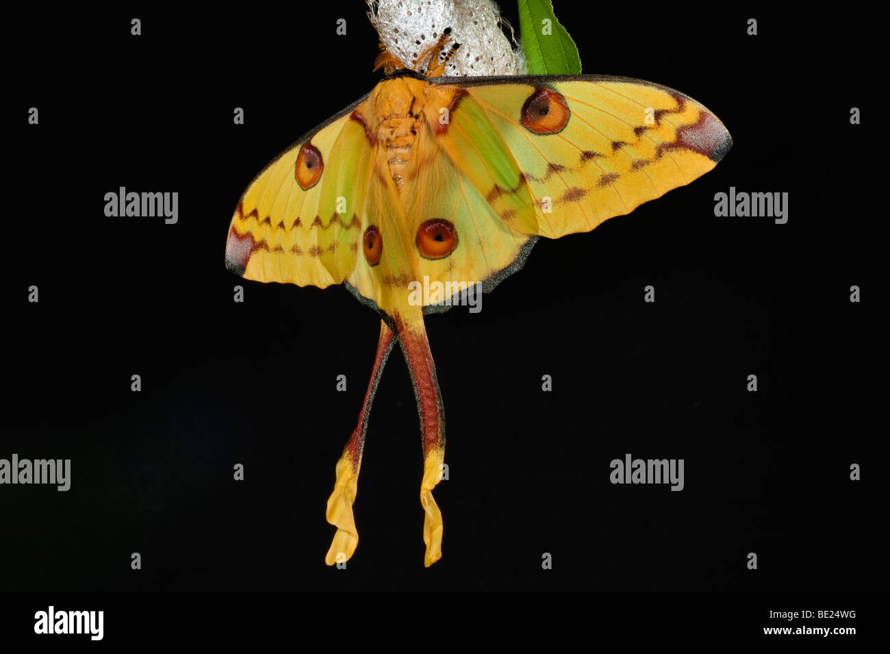 Comet Moth Argema mittrei female on cocoon case yellow long tails - Stock Image