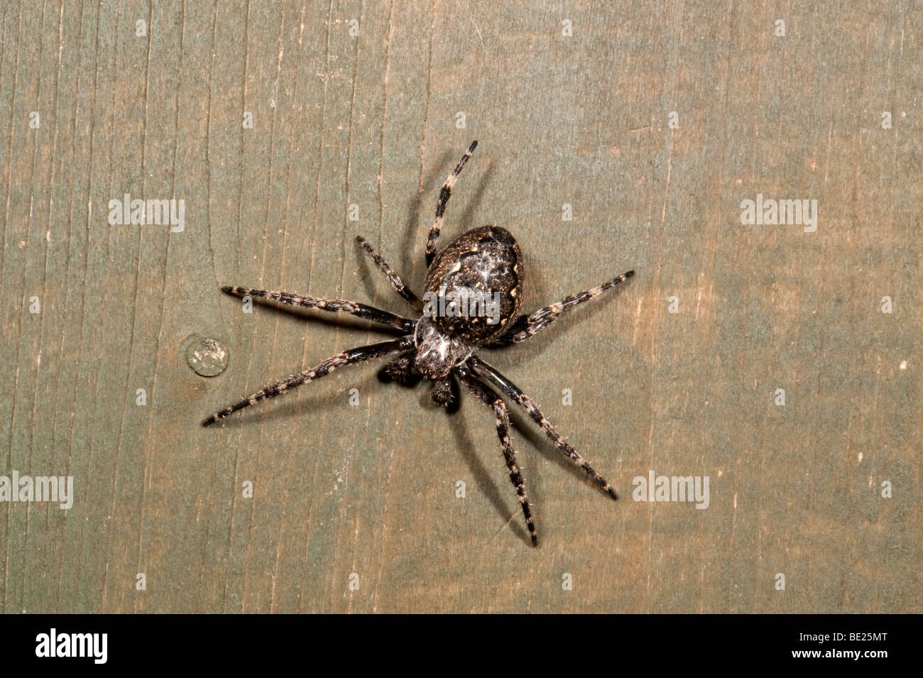 Walnut Orb Weaver Spider nuctenea umbratica nocturnat on fence panel in garden at night - Stock Image