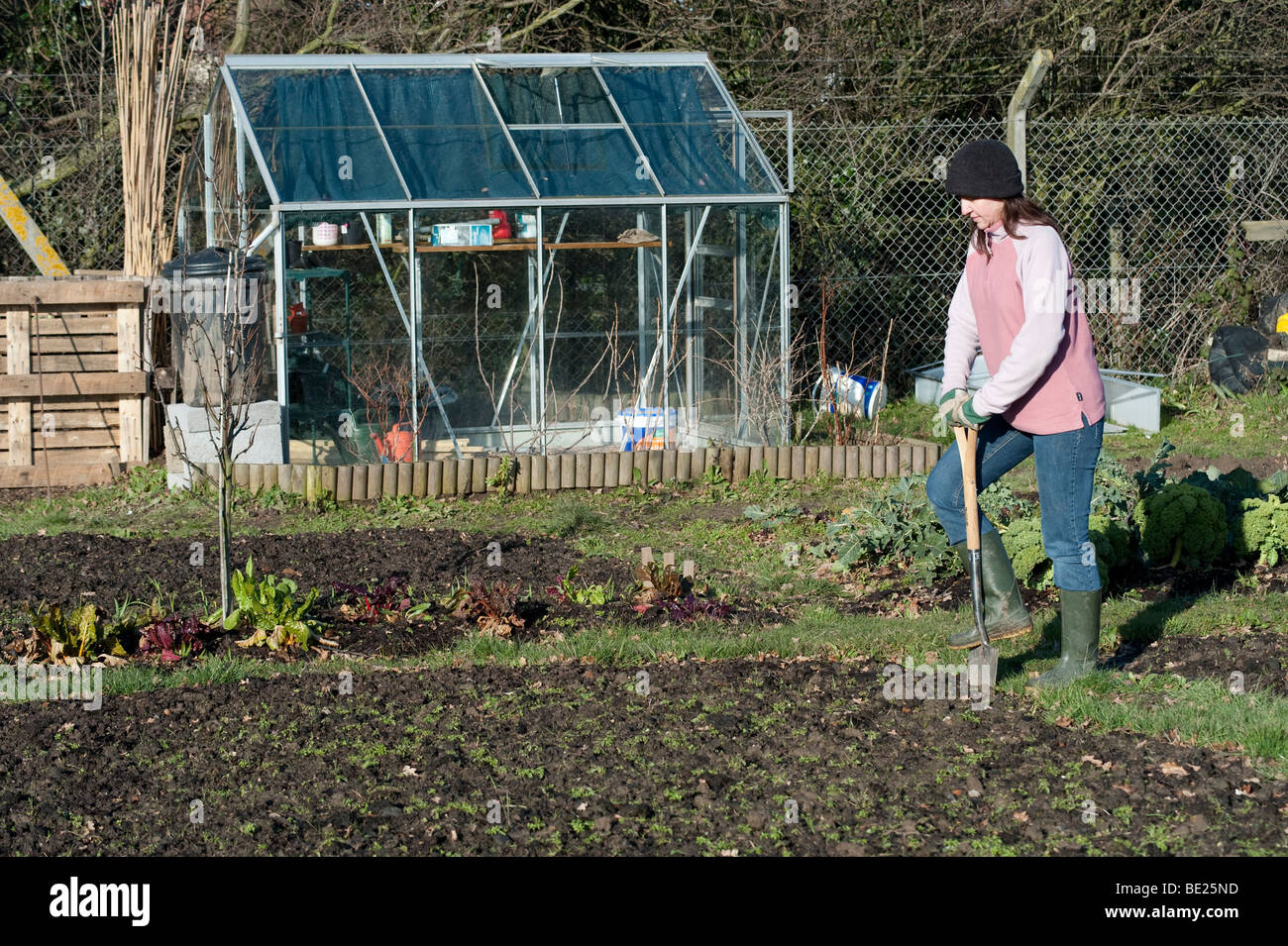 Young woman using spade to tidy grass border on allotment winter Kent UK - Stock Image