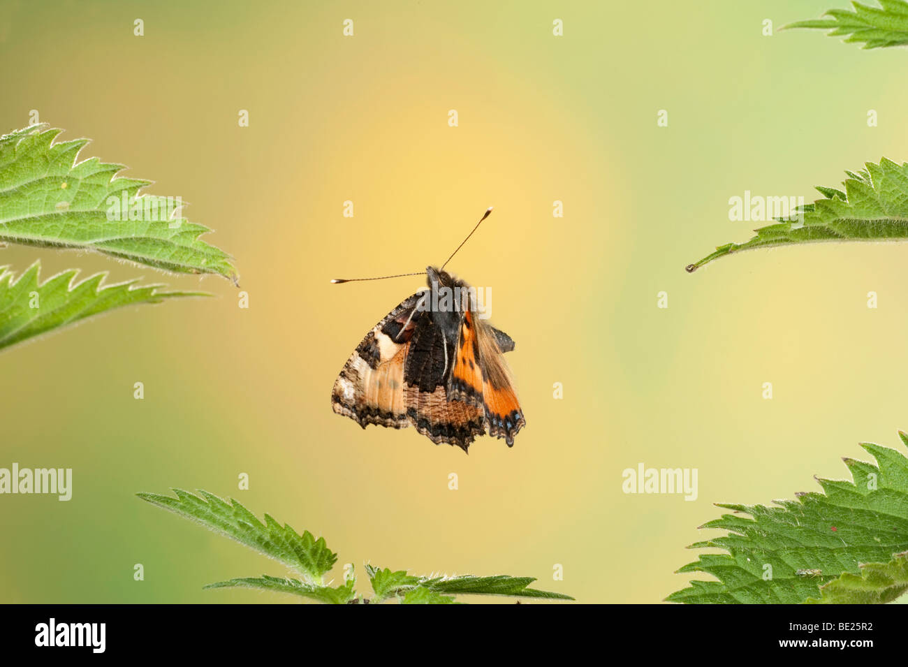 Small Tortoiseshell Butterfly Aglais urticae flying through stinging nettles high speed photographic technique.. - Stock Image