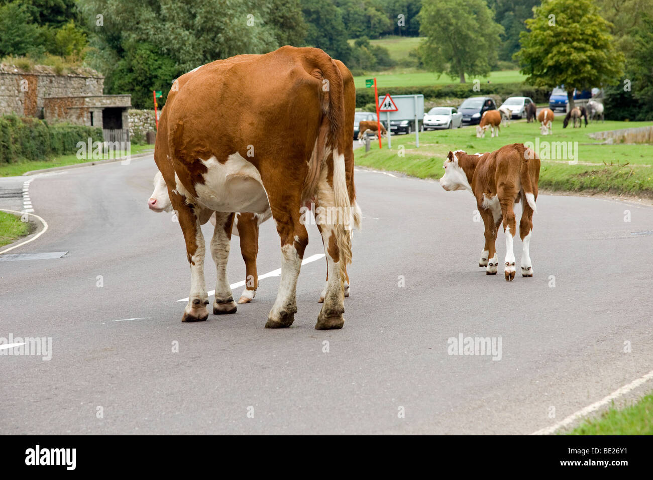 New Forest Congestion in Beaulieu Hampshire courtesy of free-roaming Hereford cattle - Stock Image