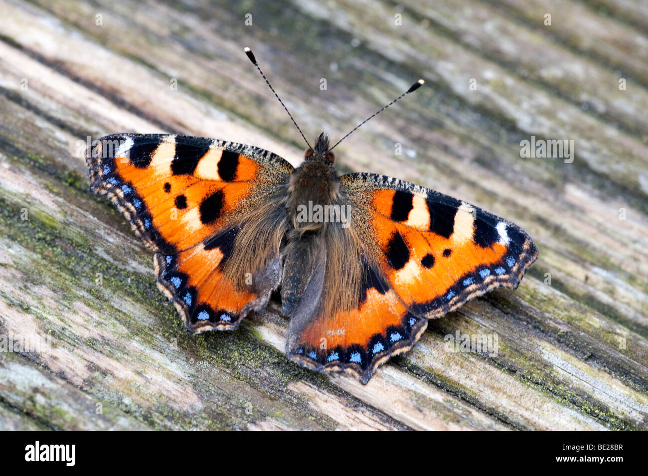Small Tortoiseshell Butterfly Aglais urticae resting with wings open on garden decking - Stock Image