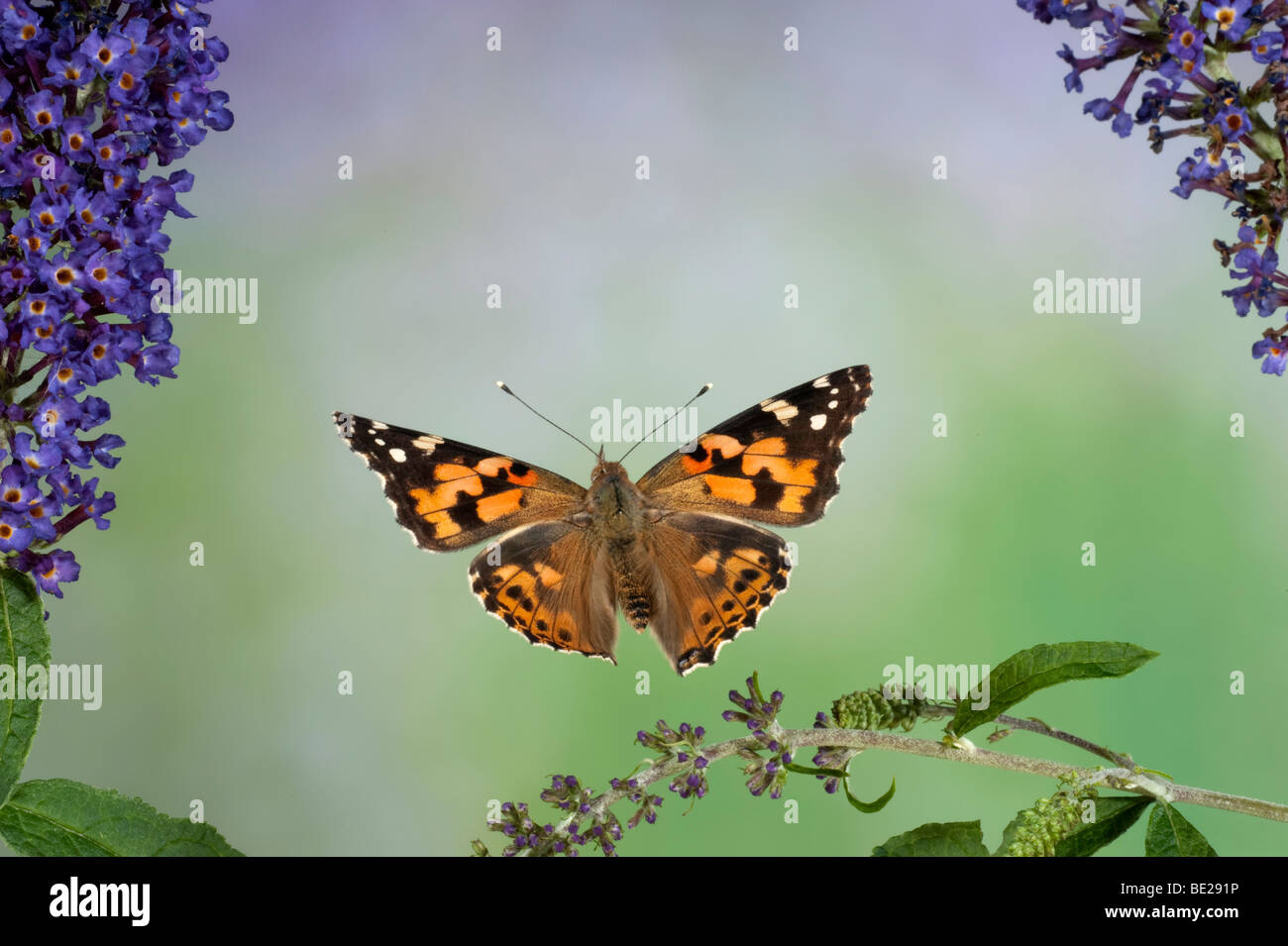 Painted Lady Butterfly Cynthia cardui adult in flight high speed photographic technique flying over buddelia migrant - Stock Image