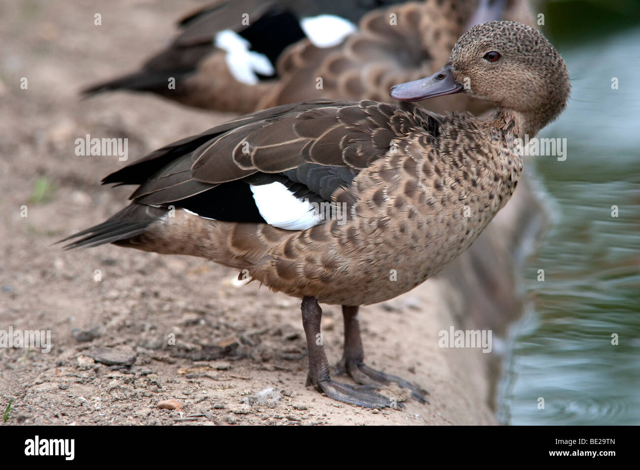 Madagascar Teal Anas bernieri standing at waters edge preening feathers Endangered  IUCN Red List CITES Appendix - Stock Image
