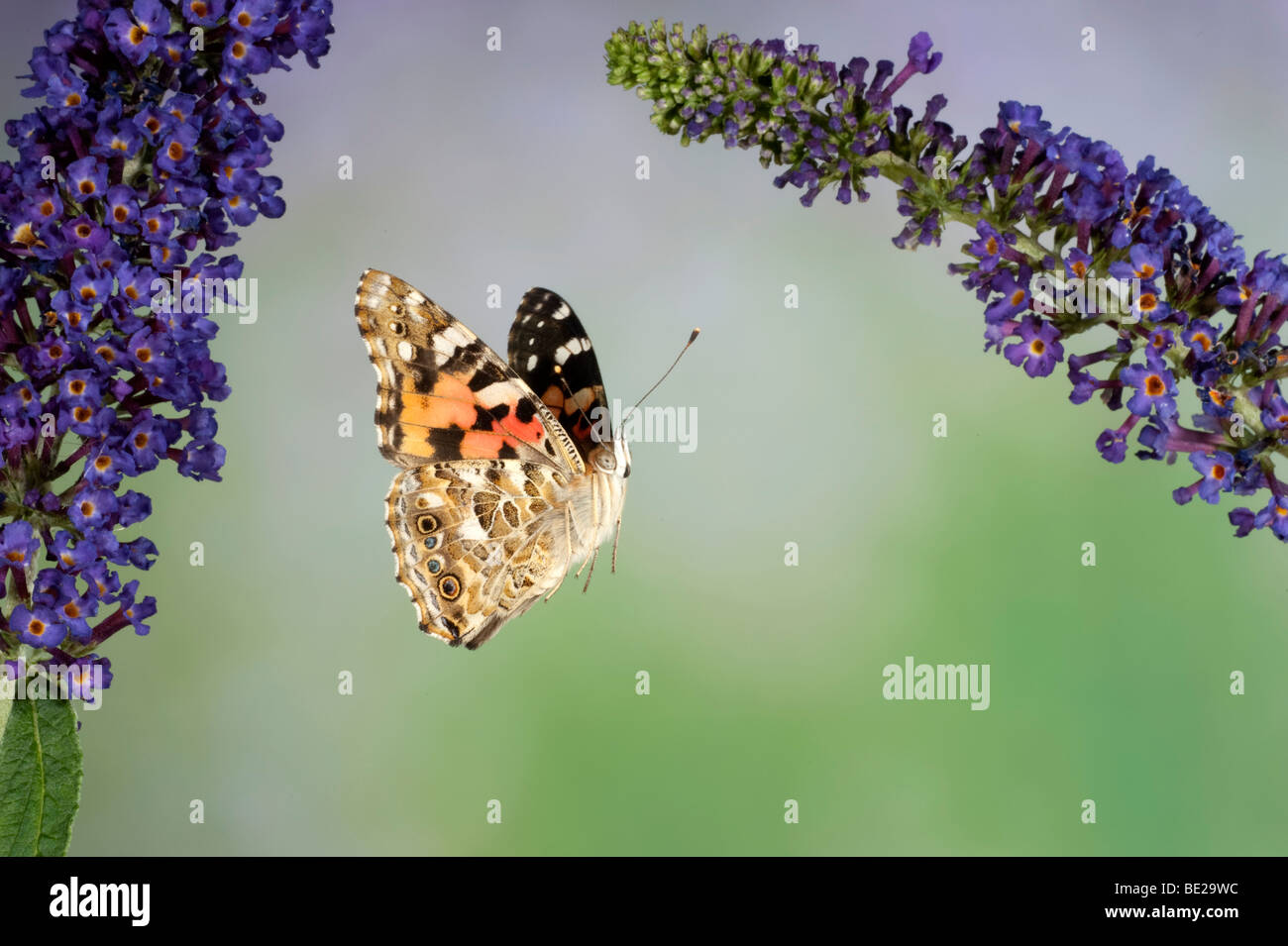Painted Lady Butterfly Cynthia cardui adult in flight high speed photographic technique flying over buddelia migrant Stock Photo