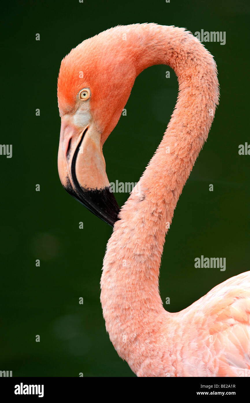 Cuban Flamingo Phoenicopterus ruber ruber Endangered Cites Appendix I pink long neck curve - Stock Image