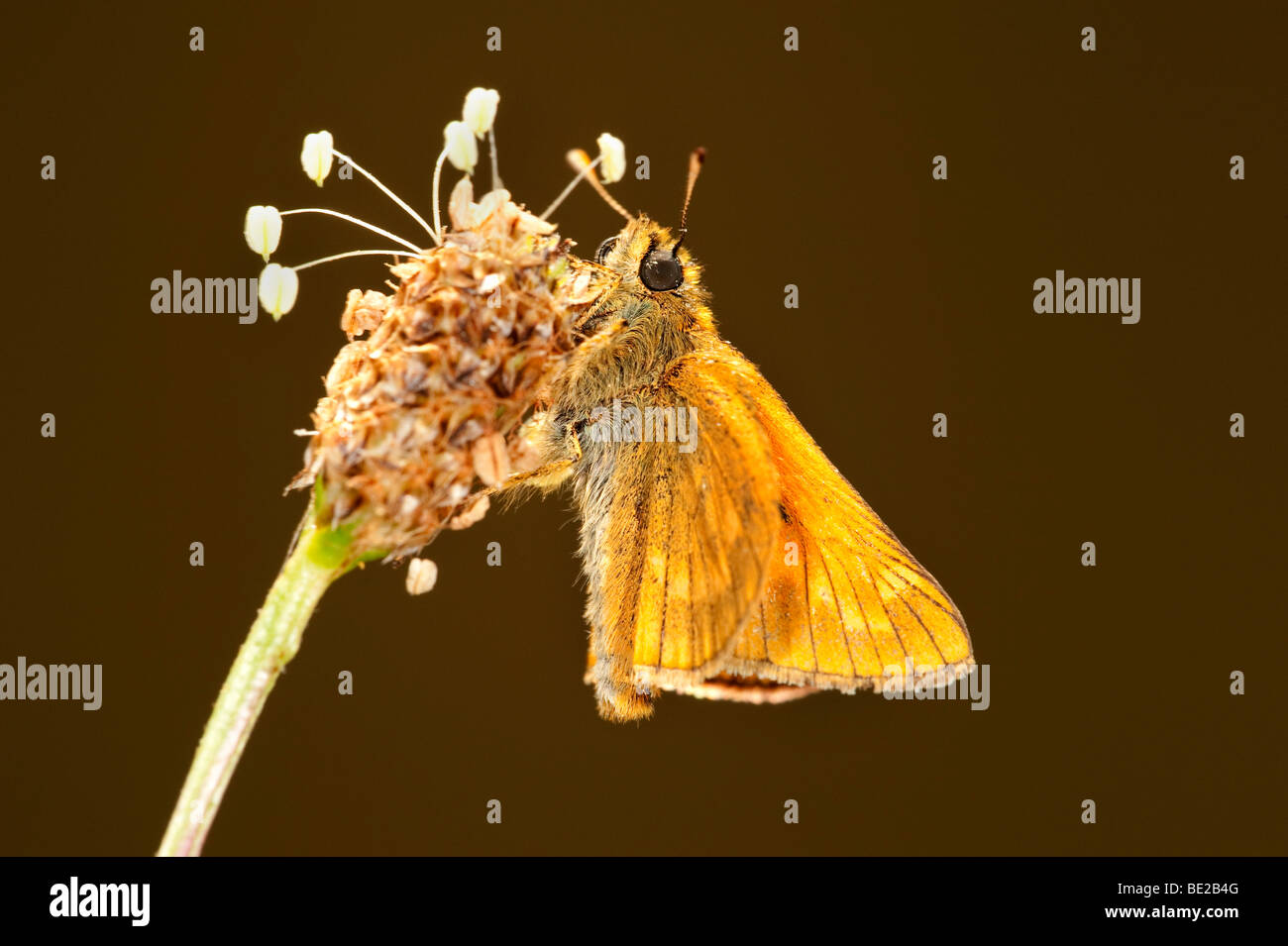 Small Skipper Butterfly Thymelicus sylvestris resting on plantin flower backlight - Stock Image