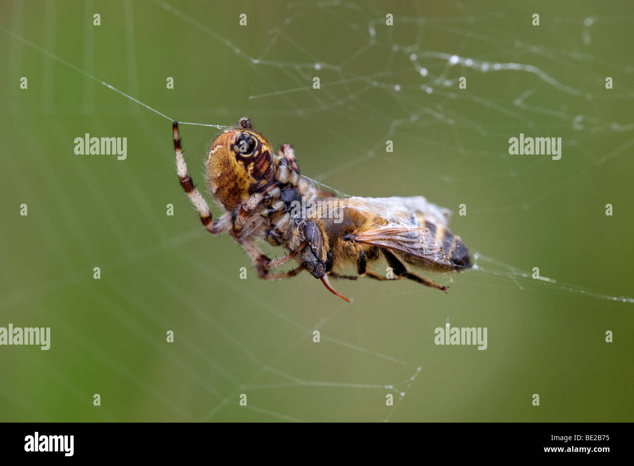 honey bee caught by spider in its web - Stock Image