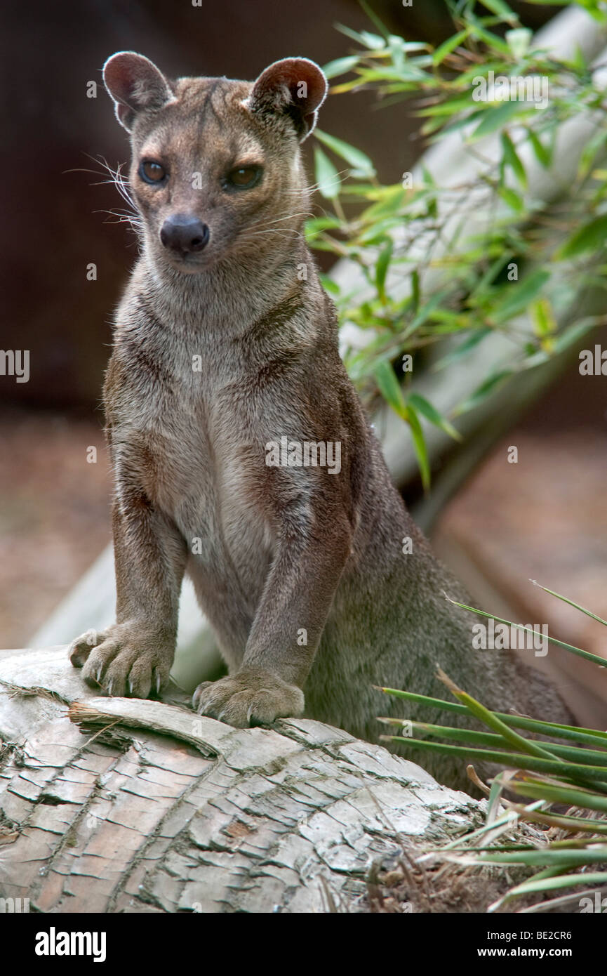 Fossa Cryptoprocia ferox Endangered Cites Appendix II largest mammalian carnivore Madagascar standing on log endemic - Stock Image