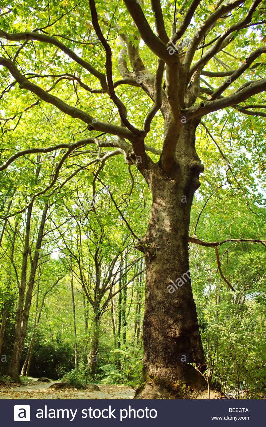 The big tree with branches of the mighty - Stock Image