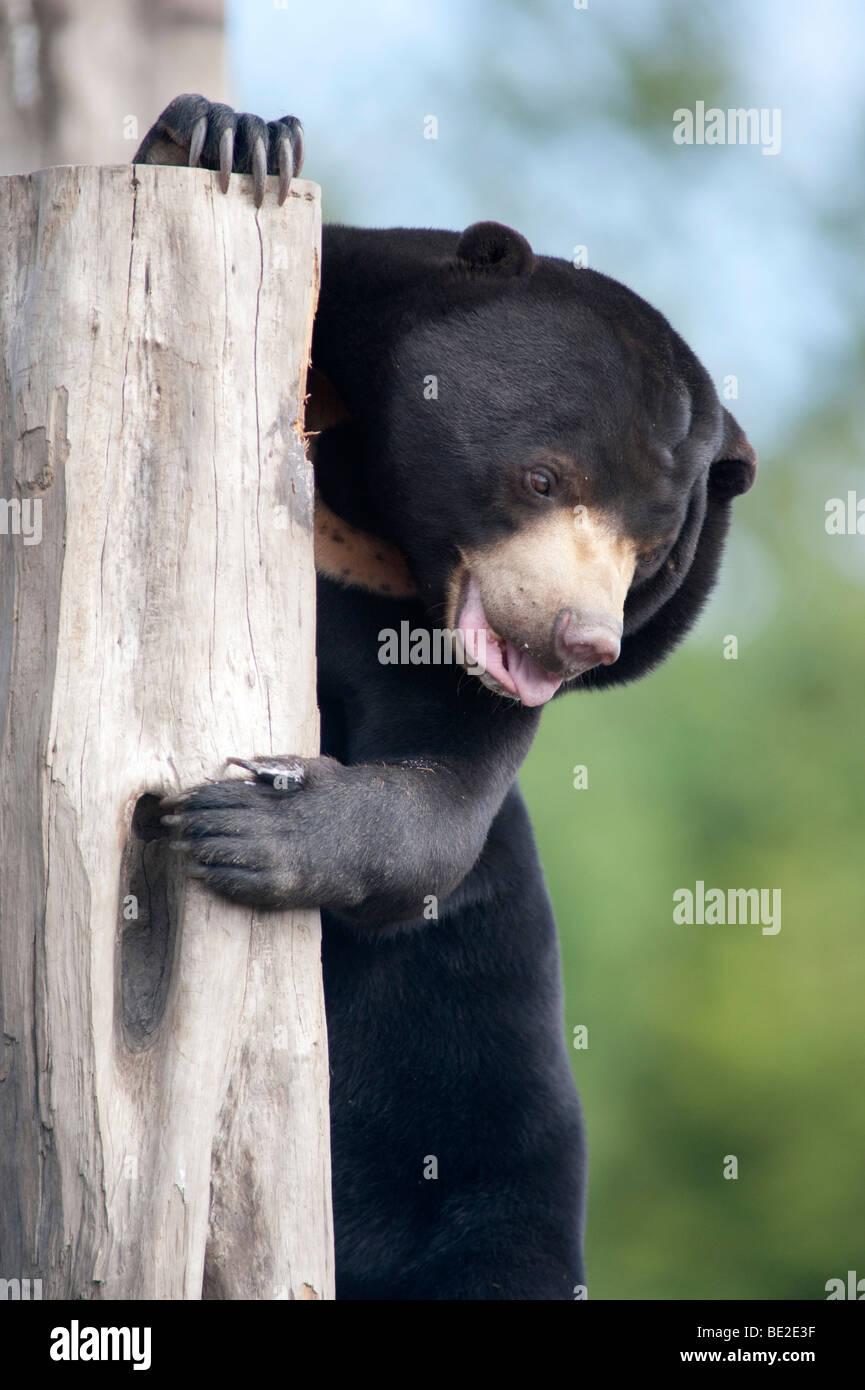 Malayan Sun Bear Helarctos malayanus smallest bear in the world - Stock Image