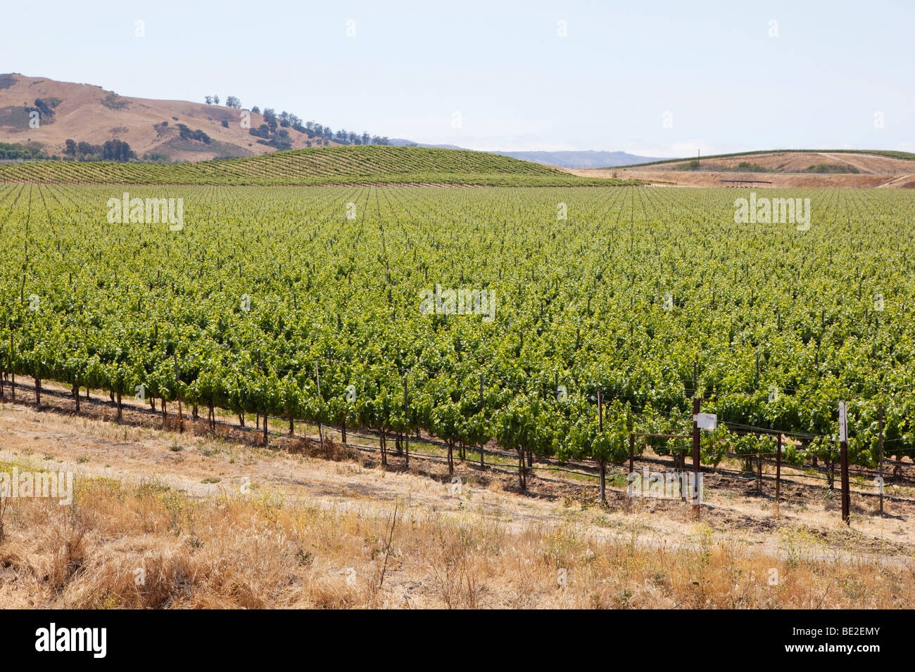 Vineyard in Central California Stock Photo