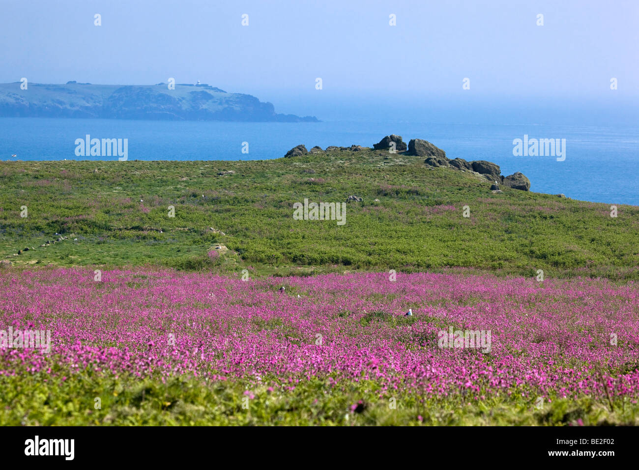 skomer island with red campion in flower, looking towards skokholm; wales Stock Photo