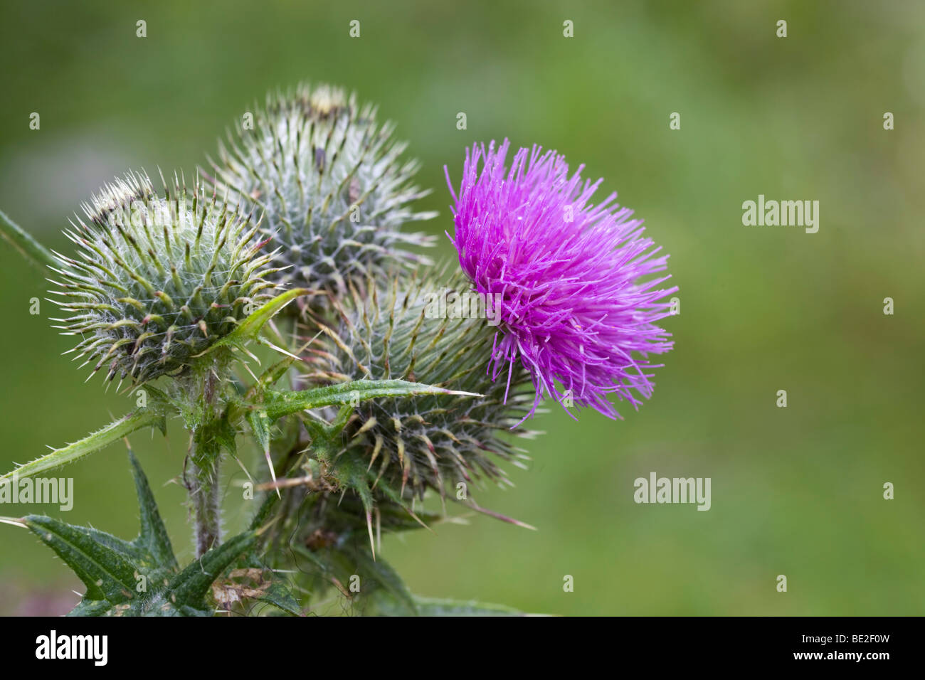 spear thistle; Cirsium vulgare; cornwall Stock Photo