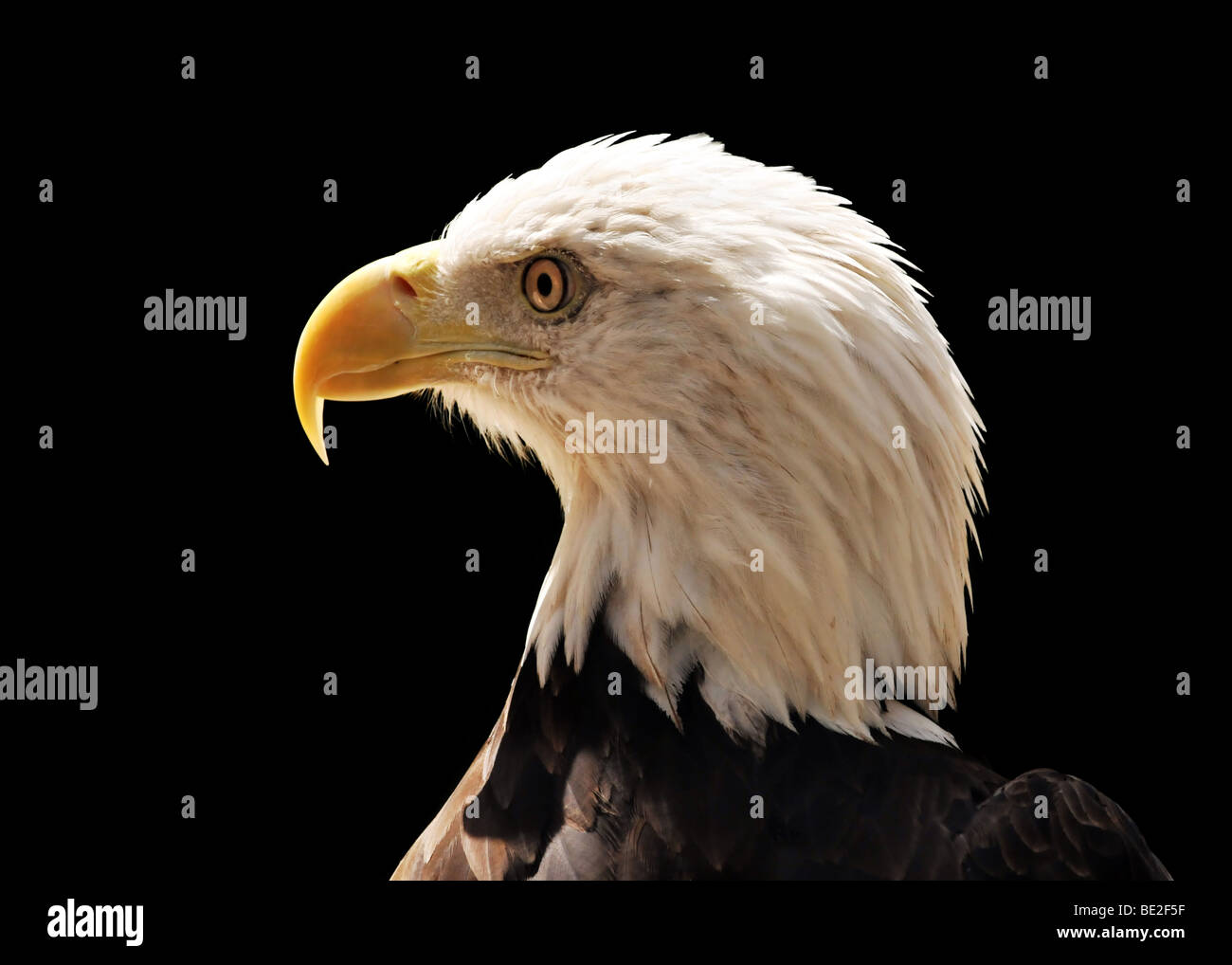 Head of bald eagle isolated over a black background Stock Photo