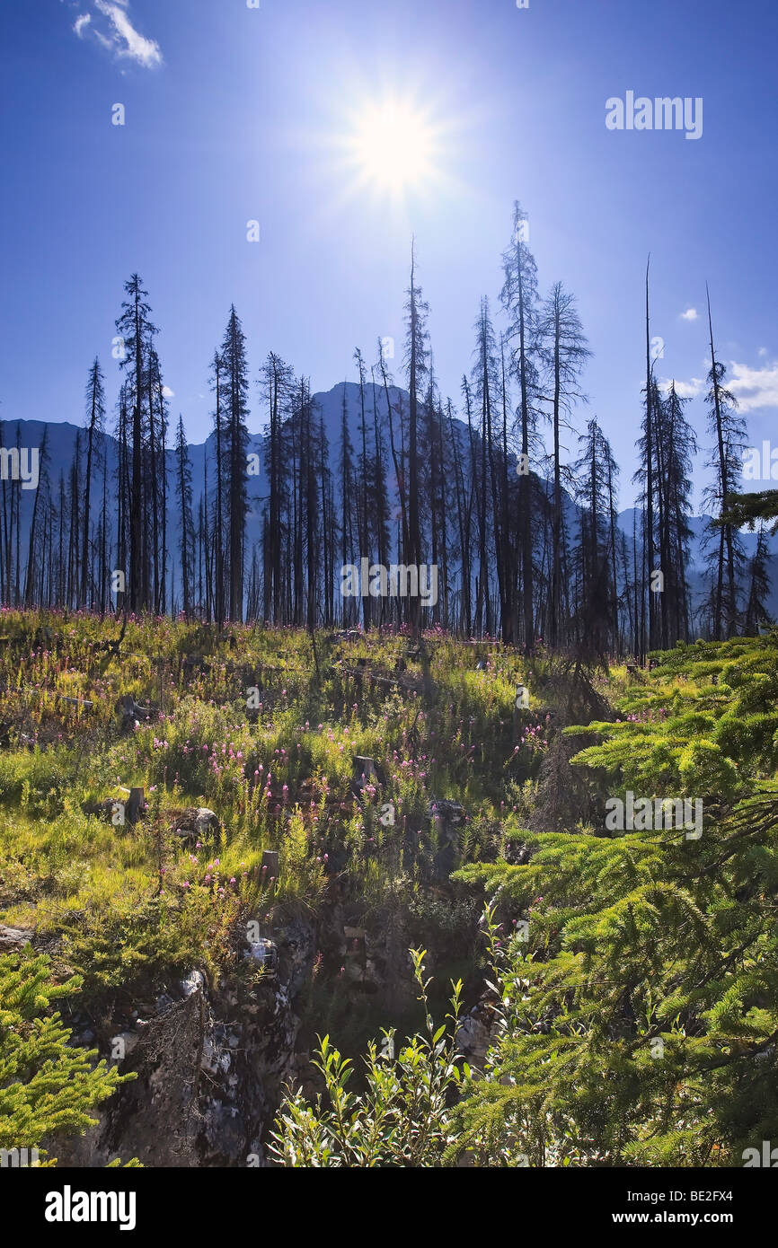 Forest renewal after the 2003 Kootenay Wildfires, Marble Canyon, Kootenay National Park, British Columbia, Canada. - Stock Image