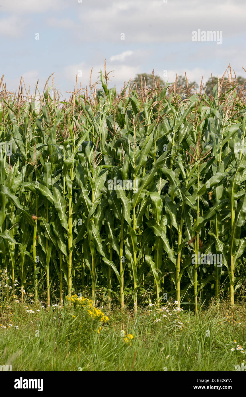 Organic Maize Crop Growing In A Field In England Stock