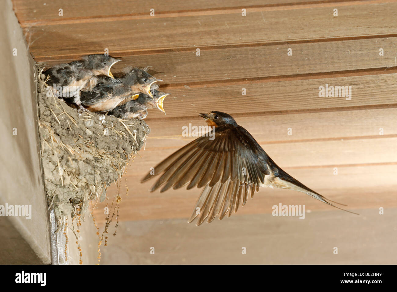 Barn Swallow at Nest - Stock Image