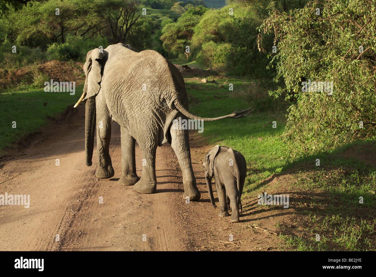 African Bush Elephant (Loxodonta africana), Lake Manyara National Park, Tanzania, Africa - Stock Image