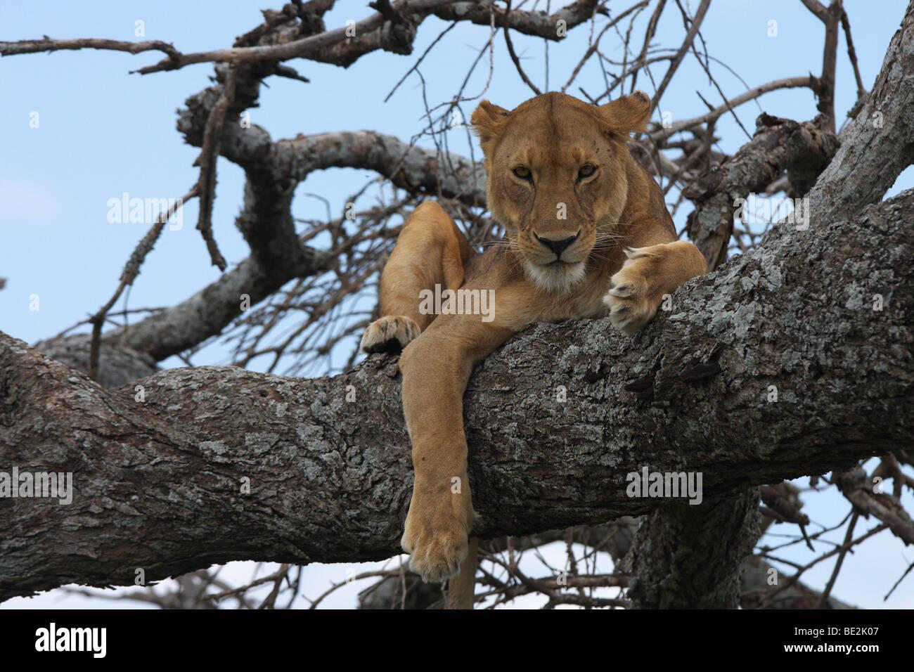 Lion (Panthera leo) in Lake Manyara National Park, Tanzania, Africa - Stock Image