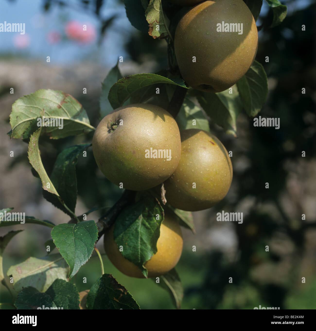 Ripe 'Egremont Russet' apples on the tree, Devon - Stock Image