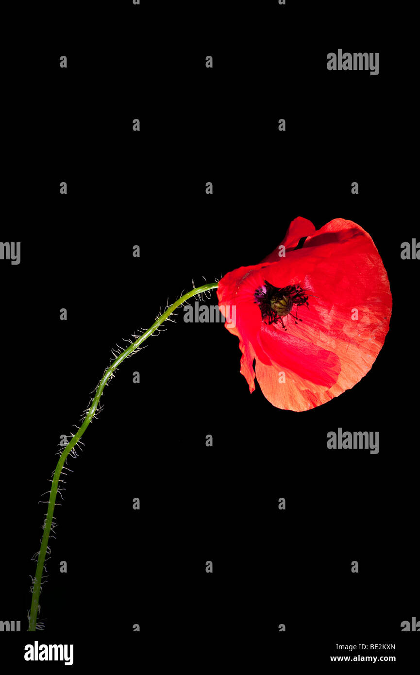 Nodding head of a Field or English poppy (Papaver rheos) on black background - Stock Image
