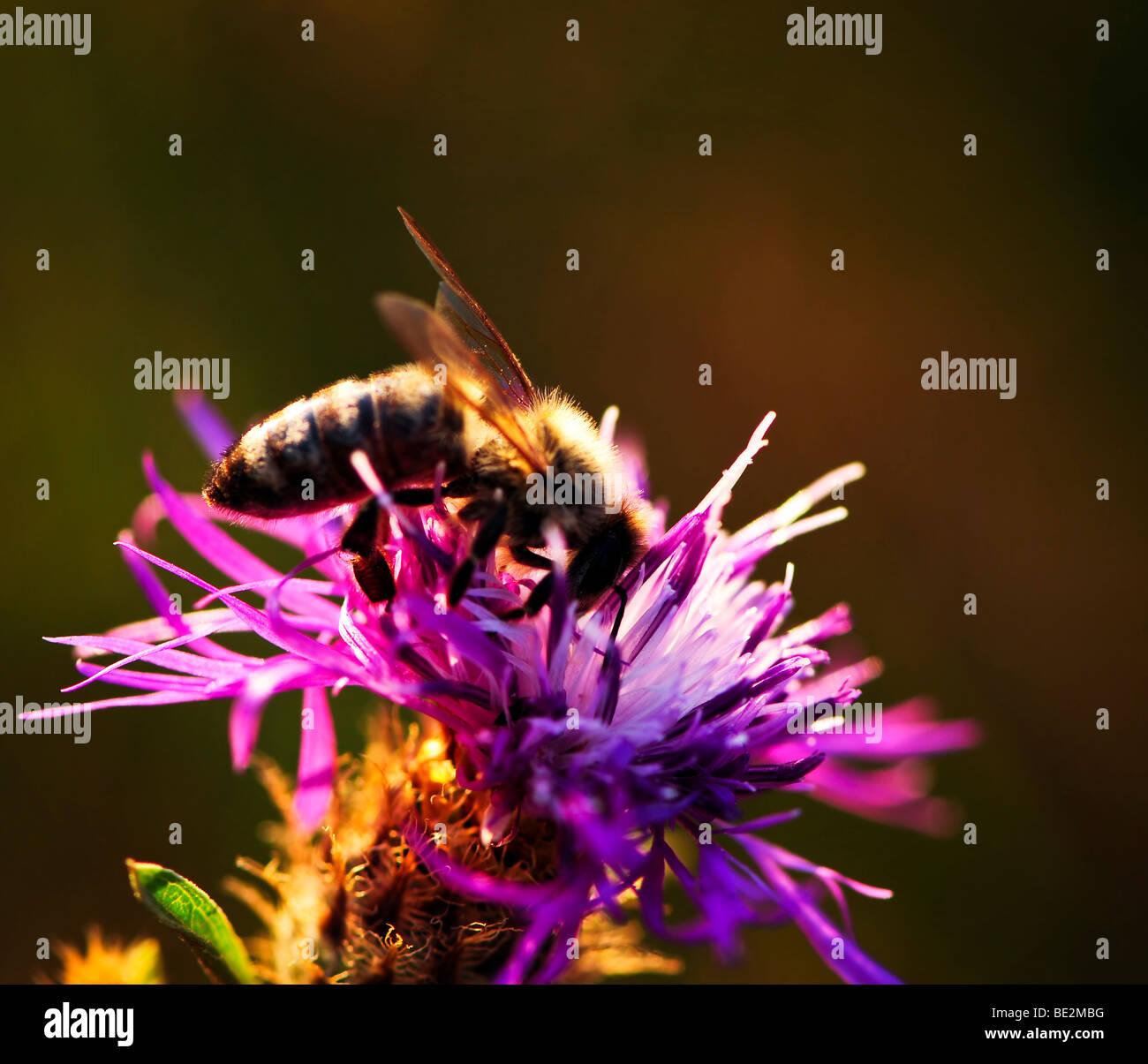 Close up of honey bee on knapweed flower Stock Photo