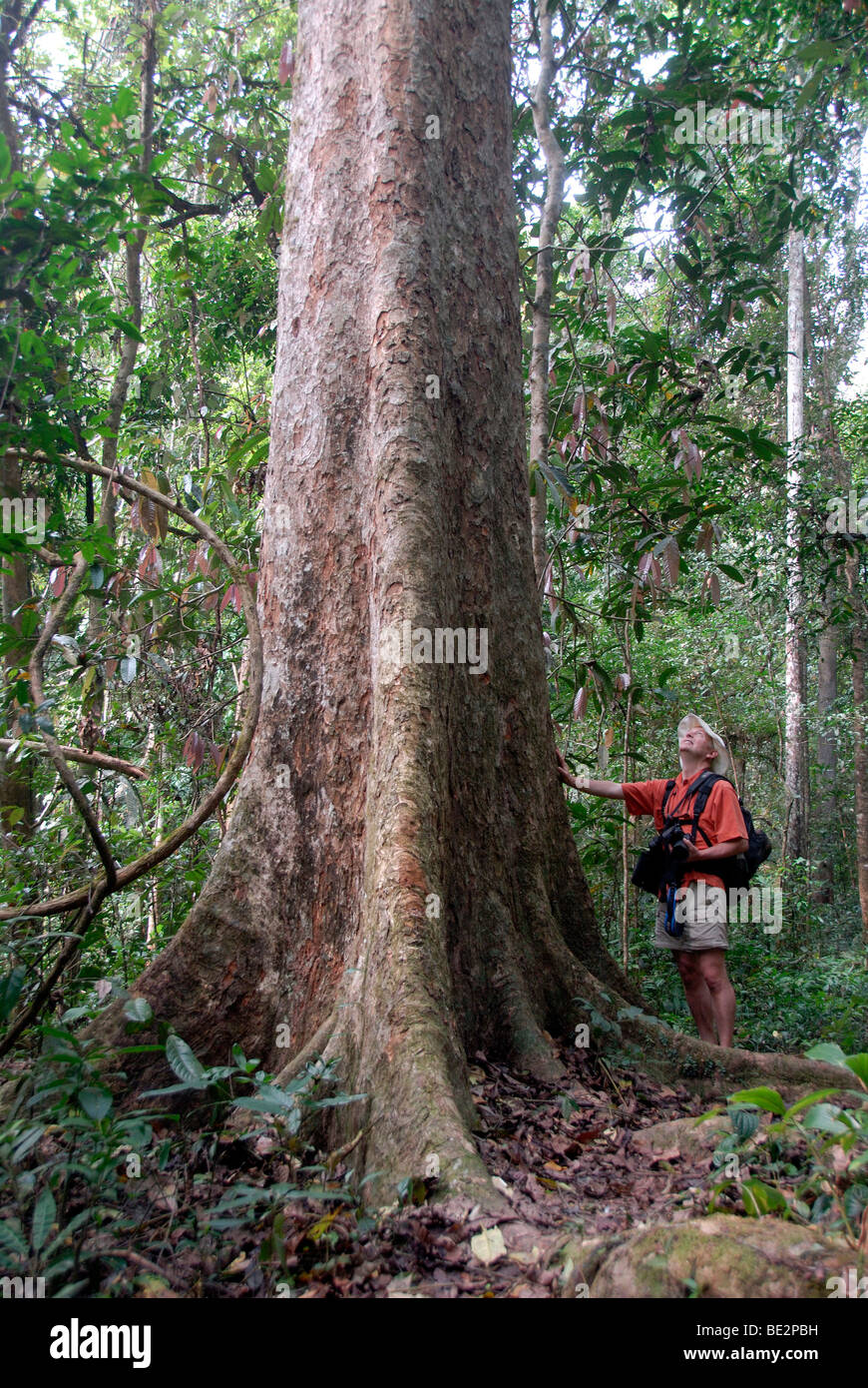 Giant tree, man standing in front of the tree in the jungle, mighty trunk and roots, Nam Lan Conservation Area, - Stock Image
