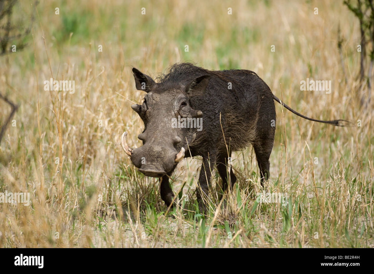 Warthog (Phacochoerus africanus), Central Kalahari, Botswana Stock Photo